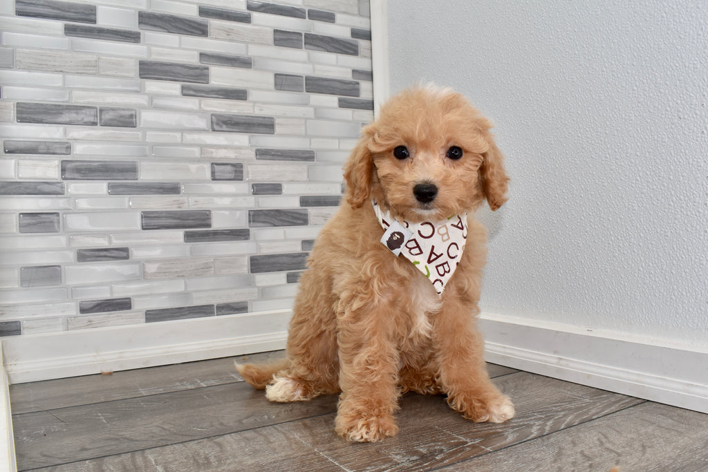 Jaden Male F2 Miniature Goldendoodle Puppy