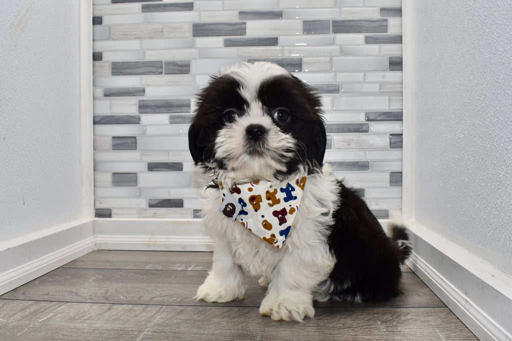 Frosty Male Imperial Shih Tzu Puppy