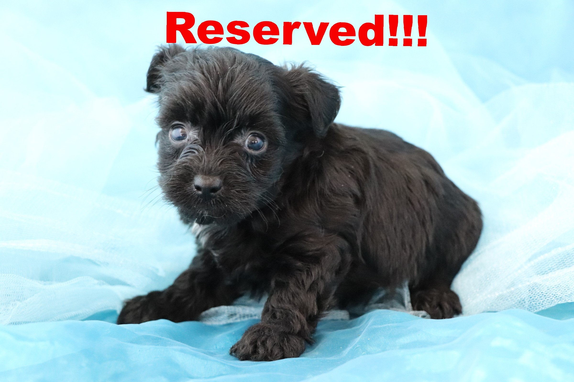 Pongo Male Teacup Yorkie Poo Puppy*