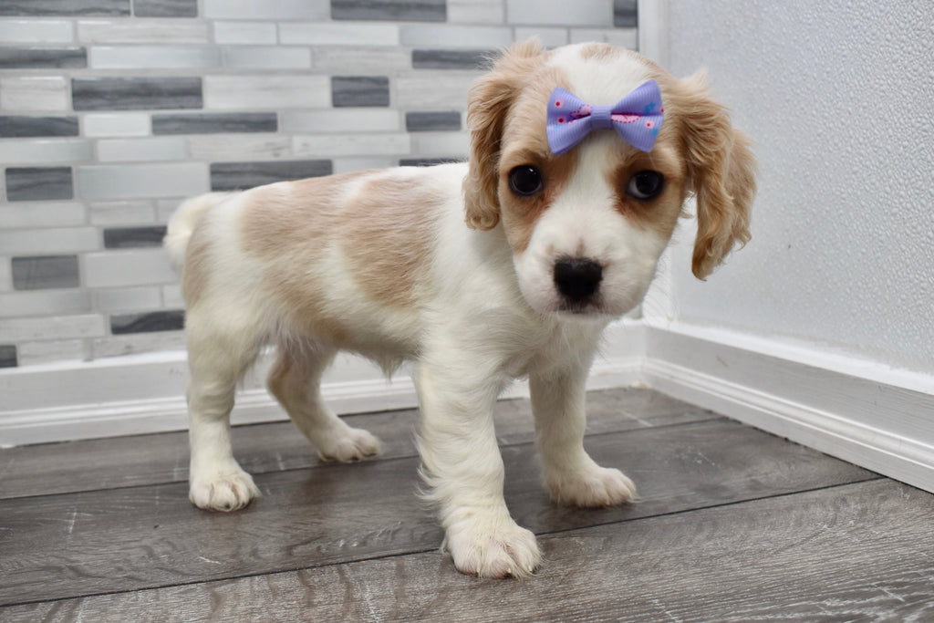 Brie Female Cavachon Puppy