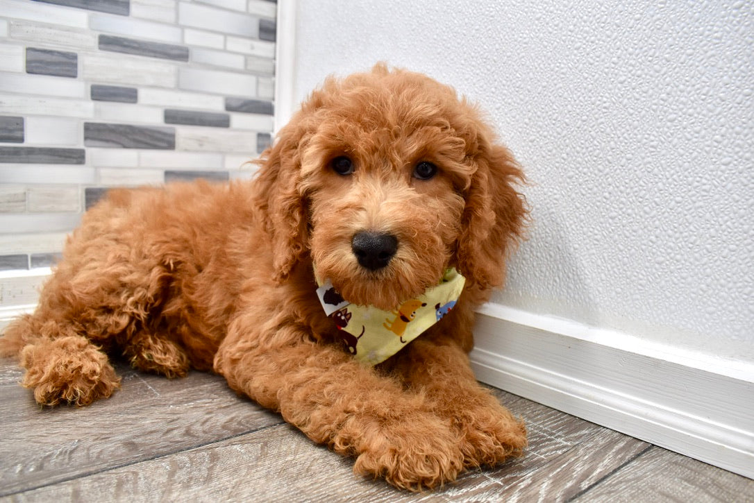 Reserved Bronson Male F1b Mini Goldendoodle Puppy