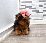 *RESERVED* Trudy Female Teacup Yorkie Puppy
