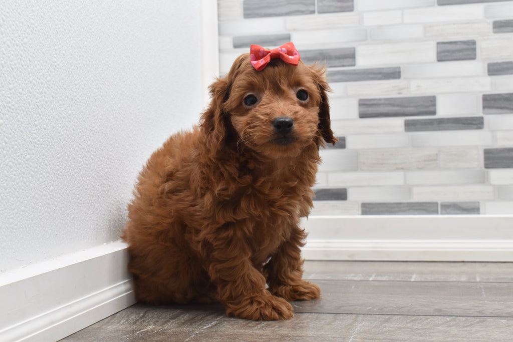 Jojo Female F1B Cavapoo Puppy