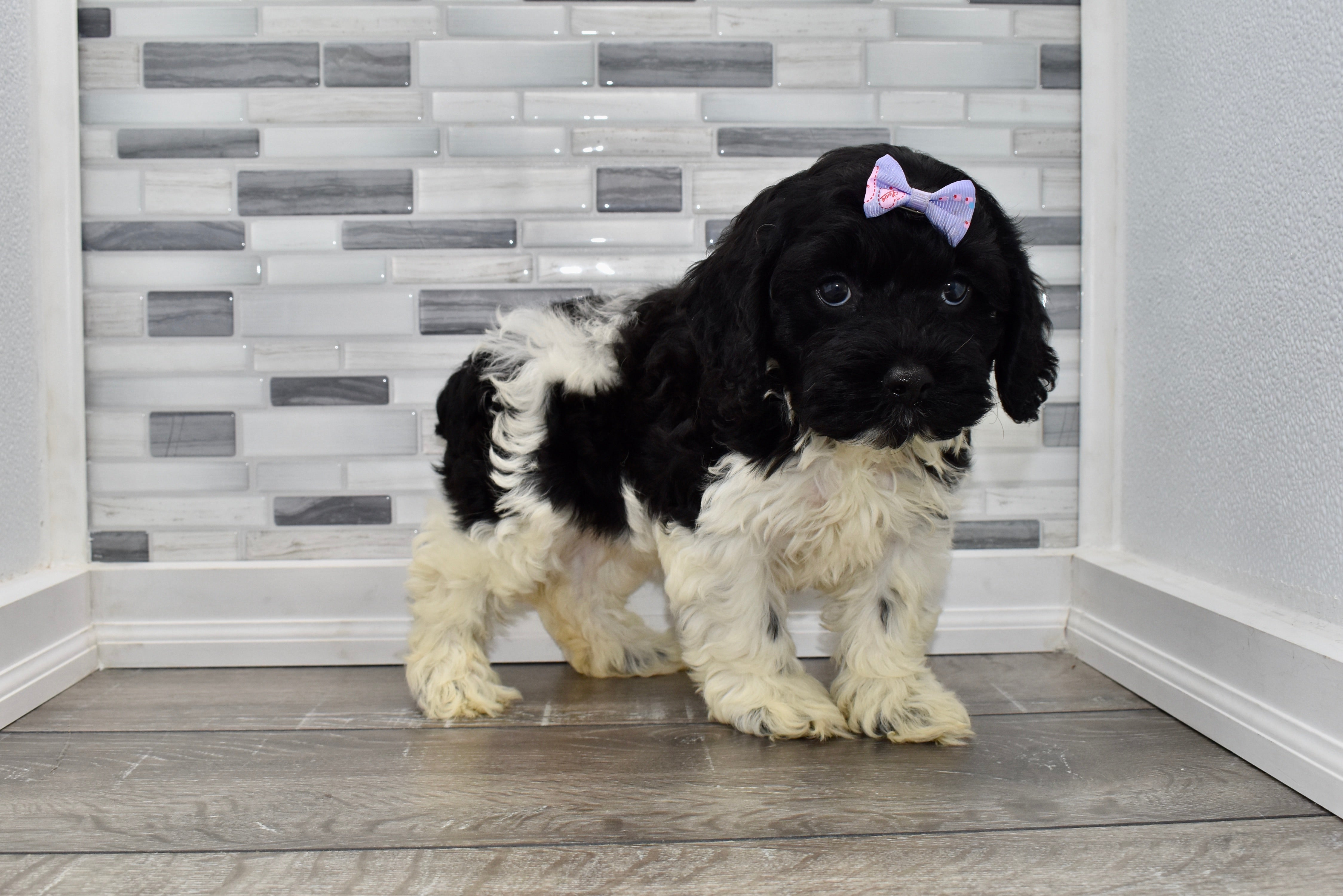 *RESERVED*Cat Female Miniature Cockapoo Puppy