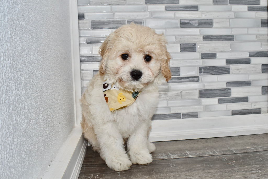 *RESERVED* Afton Male Cavacockapoo Puppy