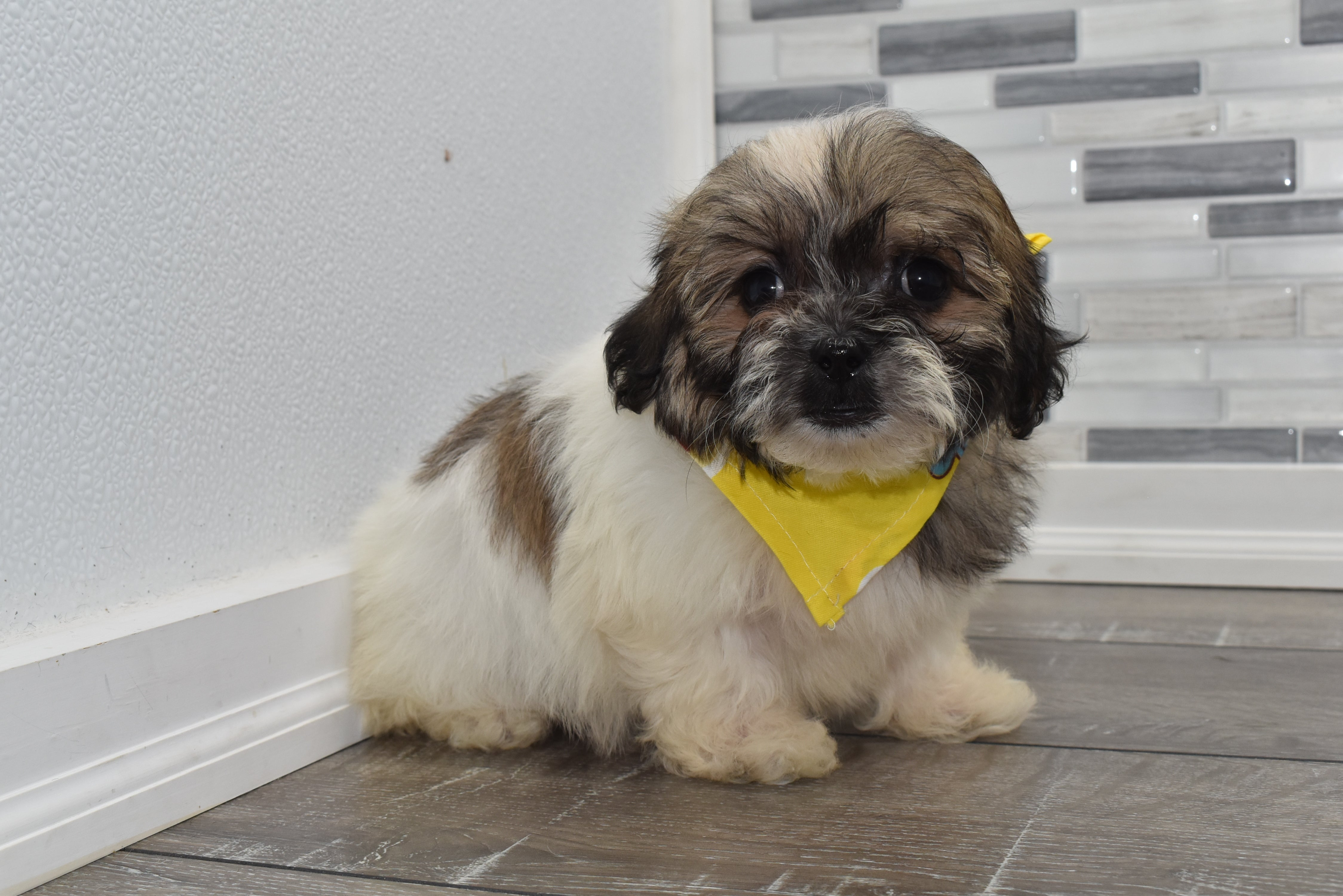*RESERVED* Eastwood Male Teacup Teddy Bear Puppy