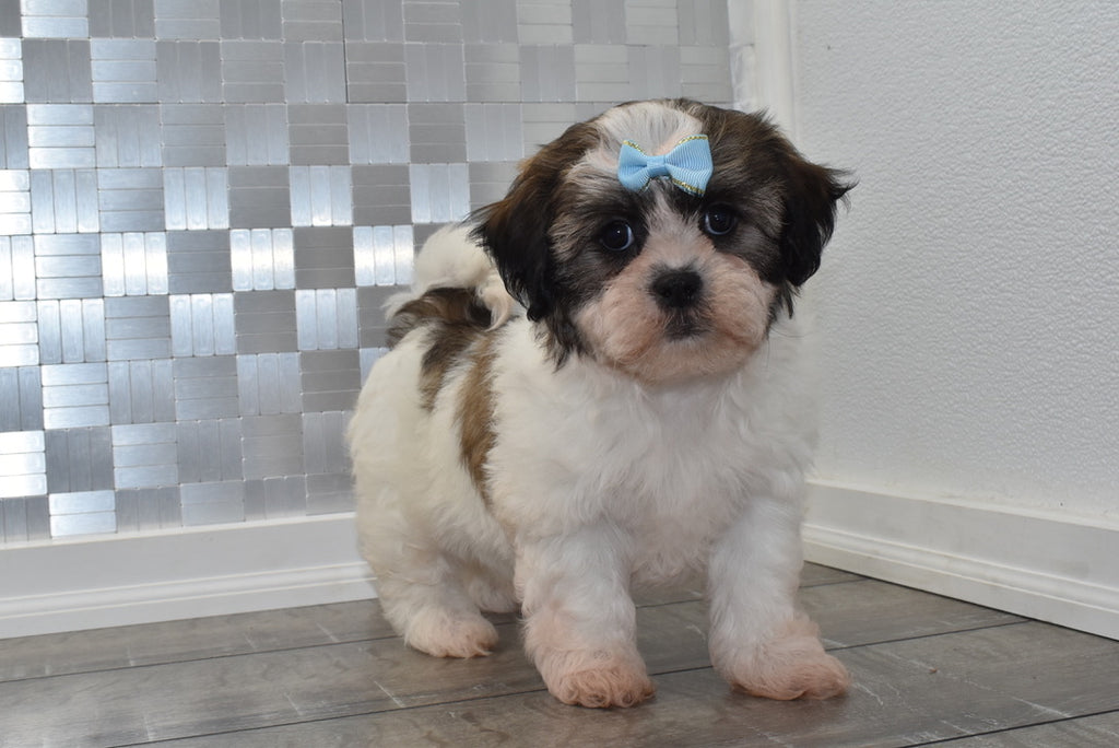 Rowena Female Teacup Teddy Bear Puppy
