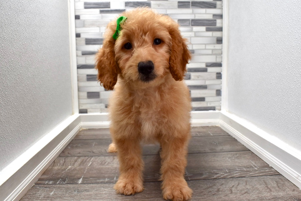 *RESERVED* Alexa Female F1B Mini Goldendoodle Puppy