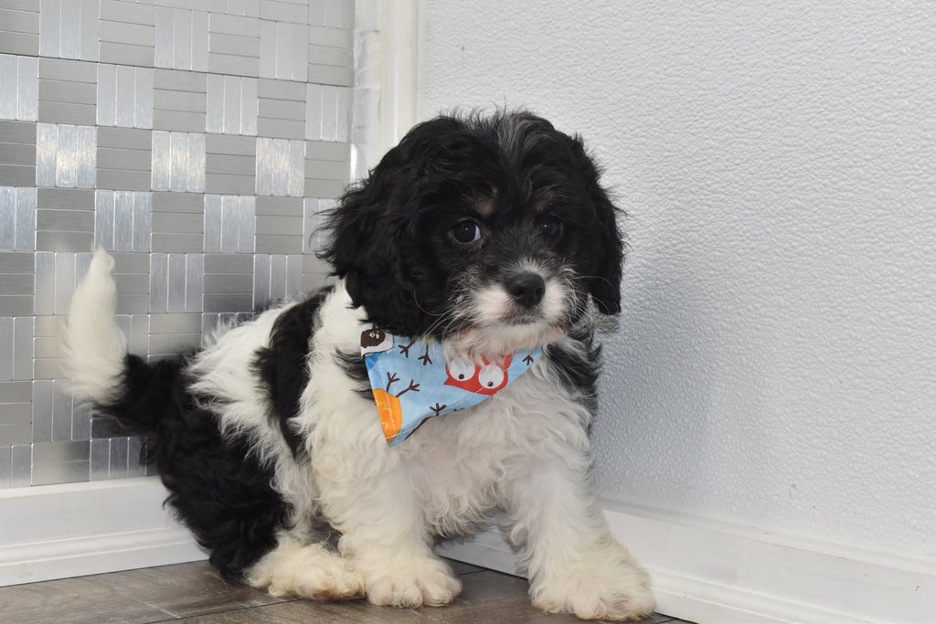 Edison Male Cavapoo Puppy