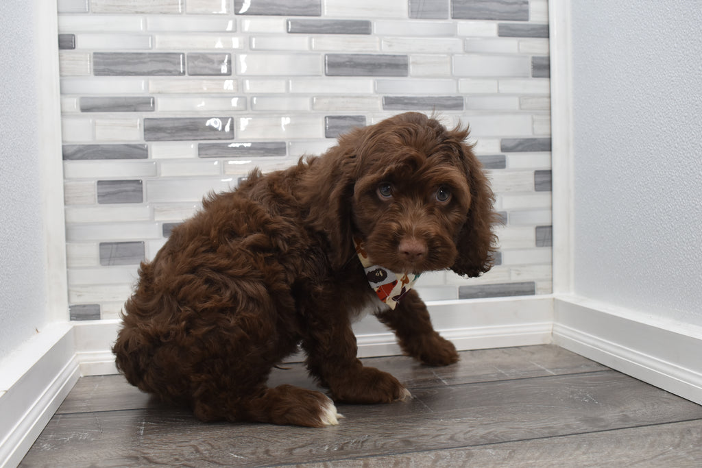 Cockapoo Puppies  Happytail Puppies  Family Dog Breeders In Nc-8231