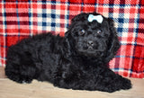 Christina Female F1B Cockapoo Puppy