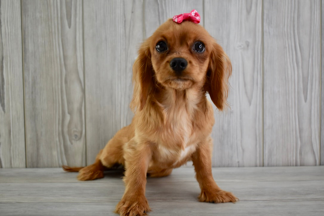 "*RESERVED*Eclair Female *PRE-TRAINED"" Cavalier King Charles Spaniel Puppy"