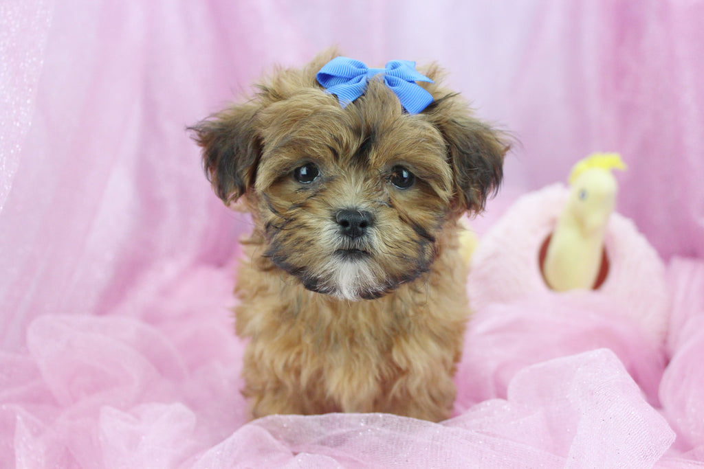Ariel Female Teacup Shihpoo Puppy