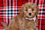 *RESERVED*Nutcracker Male F1B Cavapoo Puppy