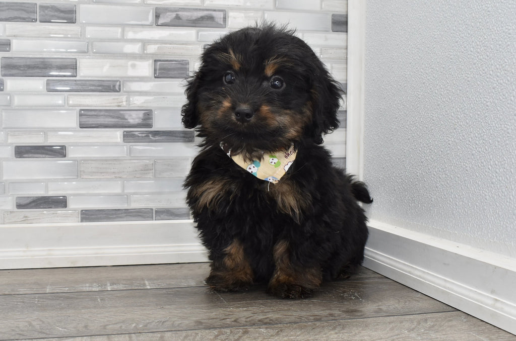 Griffith Male Mini Bernedoodle Puppy
