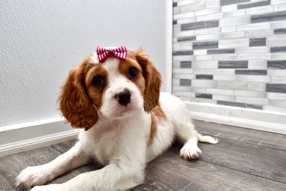 *RESERVED*Fauna Female F1B Cavachon Puppy