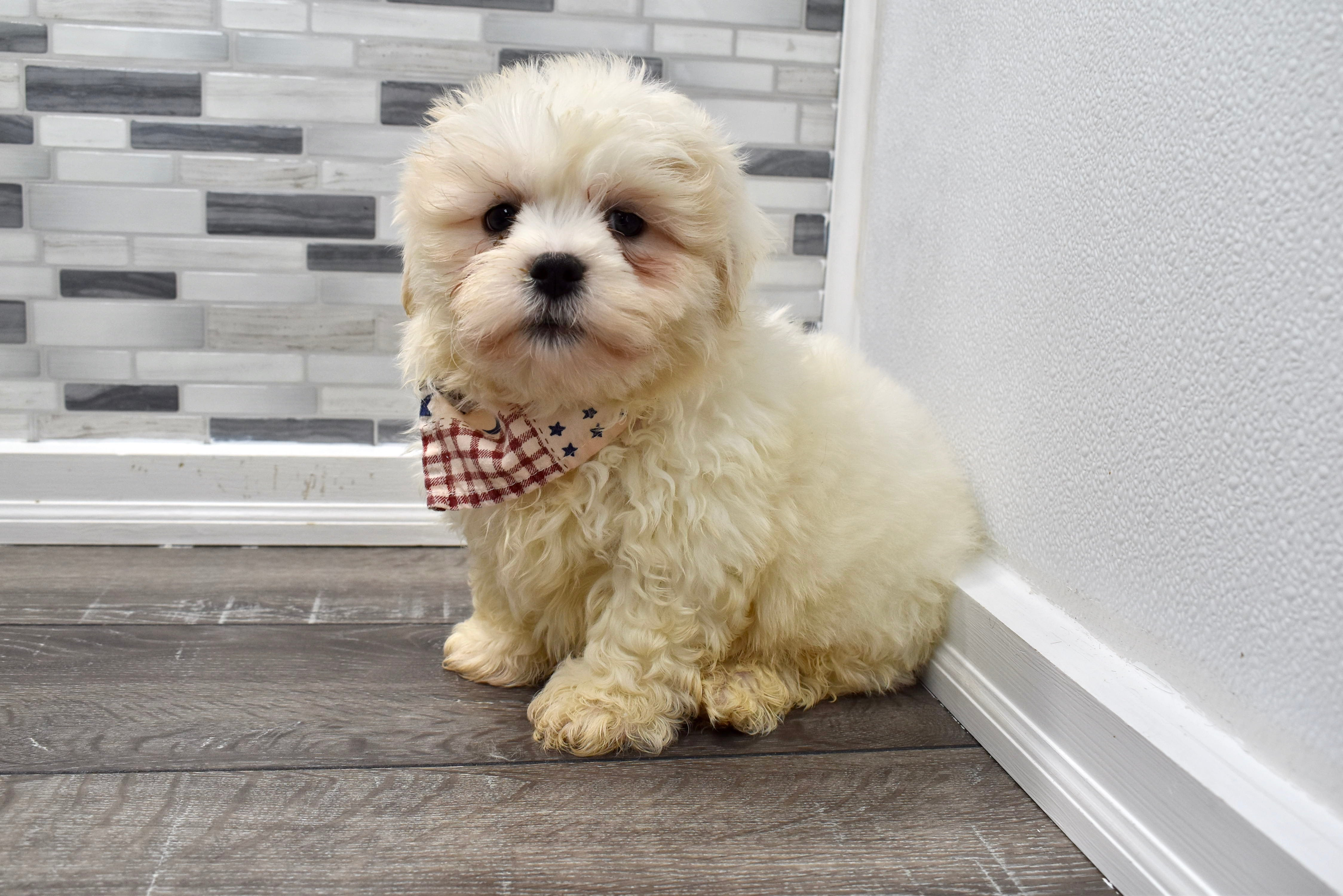 *RESERVED*Pooh Male Teacup Teddy Bear Puppy