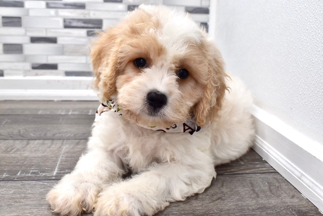 *RESERVED* Shaggy Male F1B Cavachon Puppy