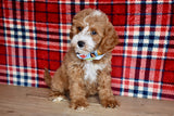 *RESERVED* Silo Male F1B Cavapoo Puppy