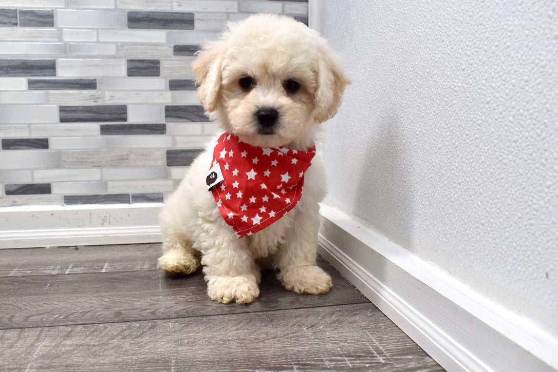 *RESERVED*Tangerine Male Bichon Frise Puppy