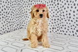 Chanel Female F1B Cavapoo Puppy