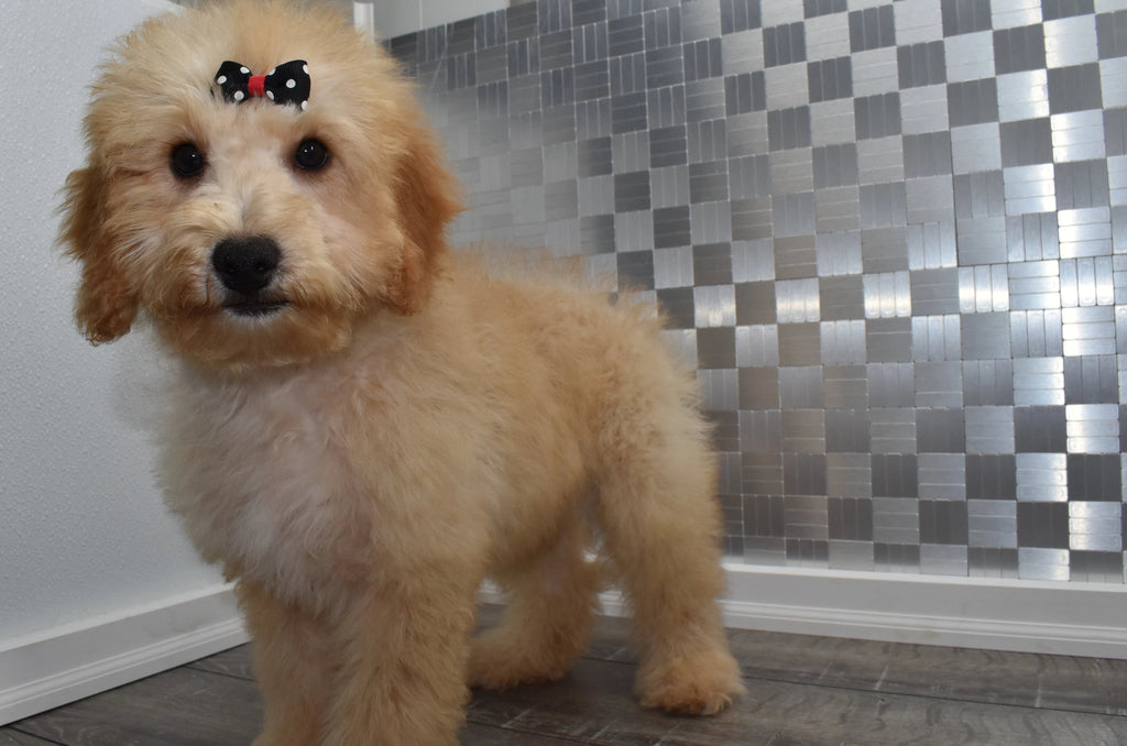 Brooklyn Female *PRE-TRAINED* F1B Miniature Goldendoodle Puppy
