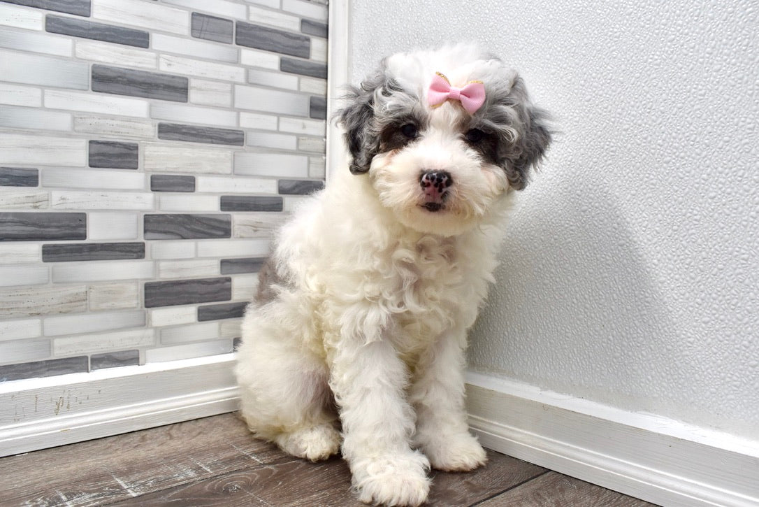 *RESERVED*Goldie Female Merle F2 Mini Bernedoodle Puppy