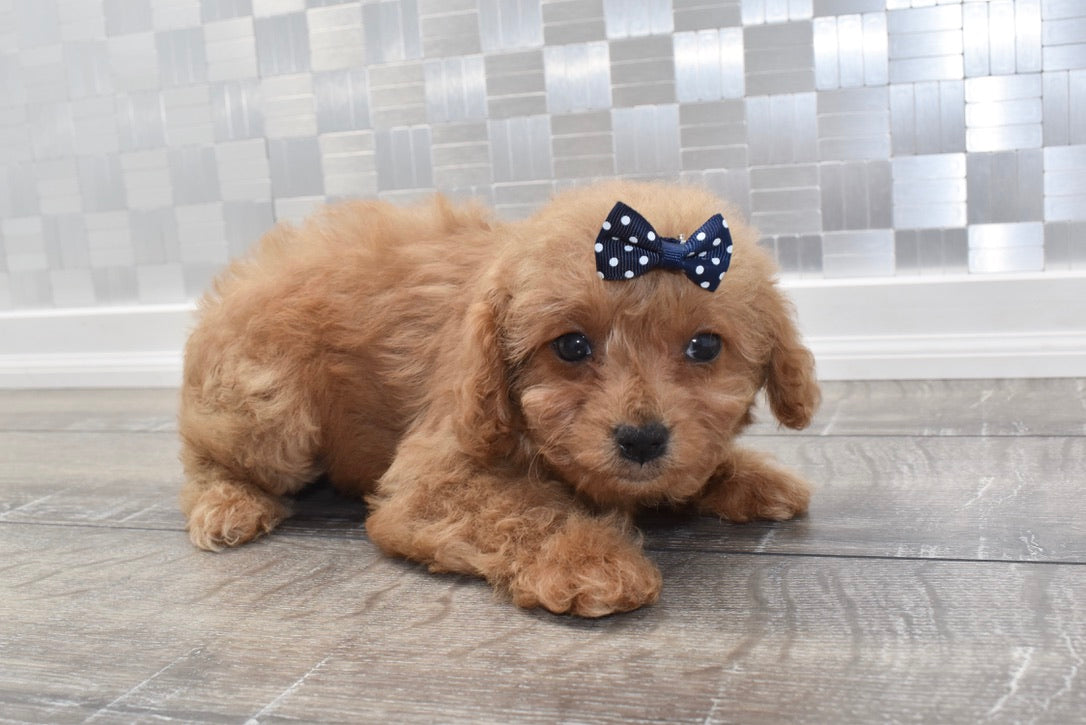 *RESERVED*Patsy Female F1B Cavapoo Puppy
