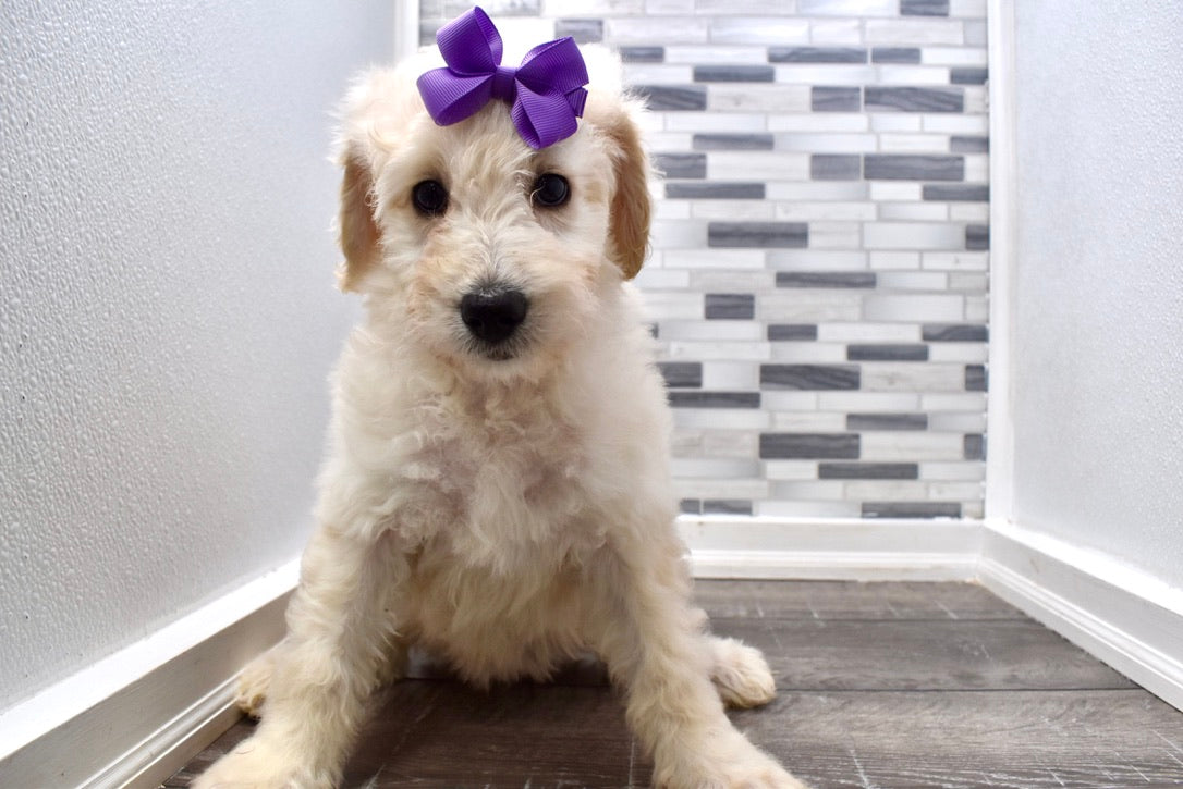 *RESERVED*Joy Female F1B Mini Goldendoodle Puppy