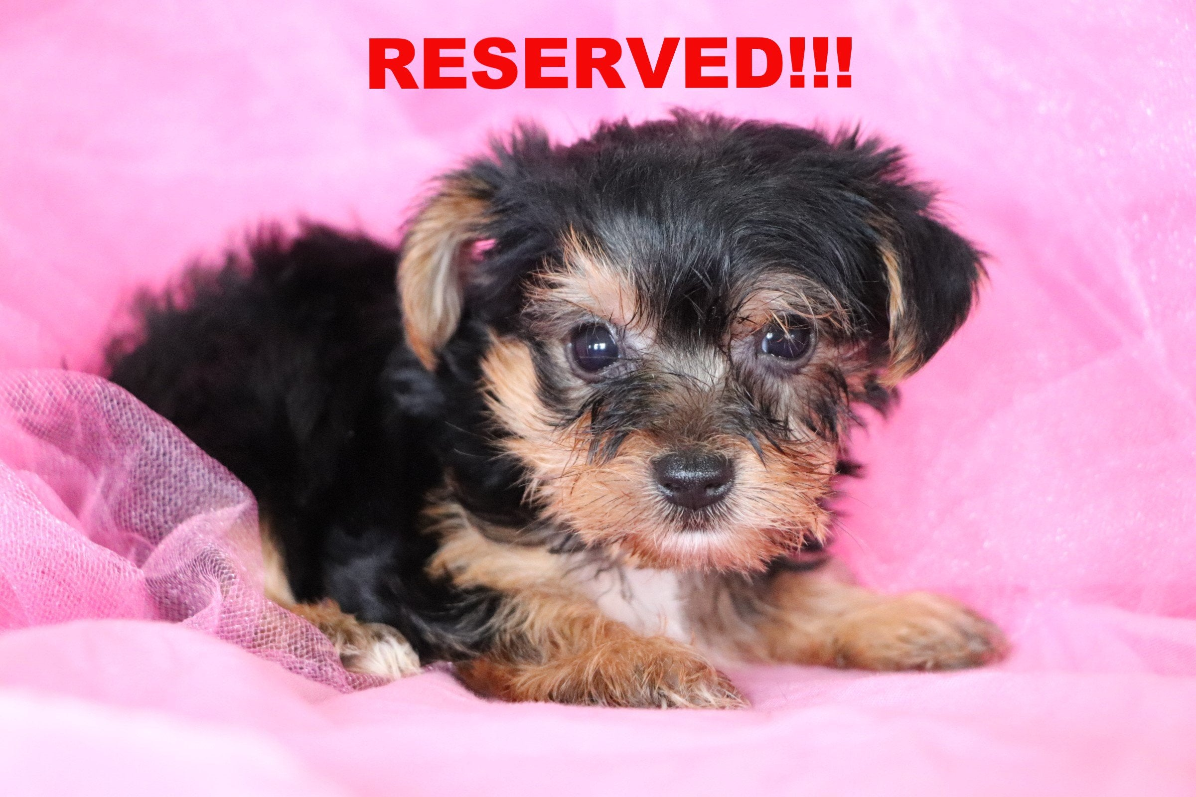 Capri Female Teacup Morkie Puppy*