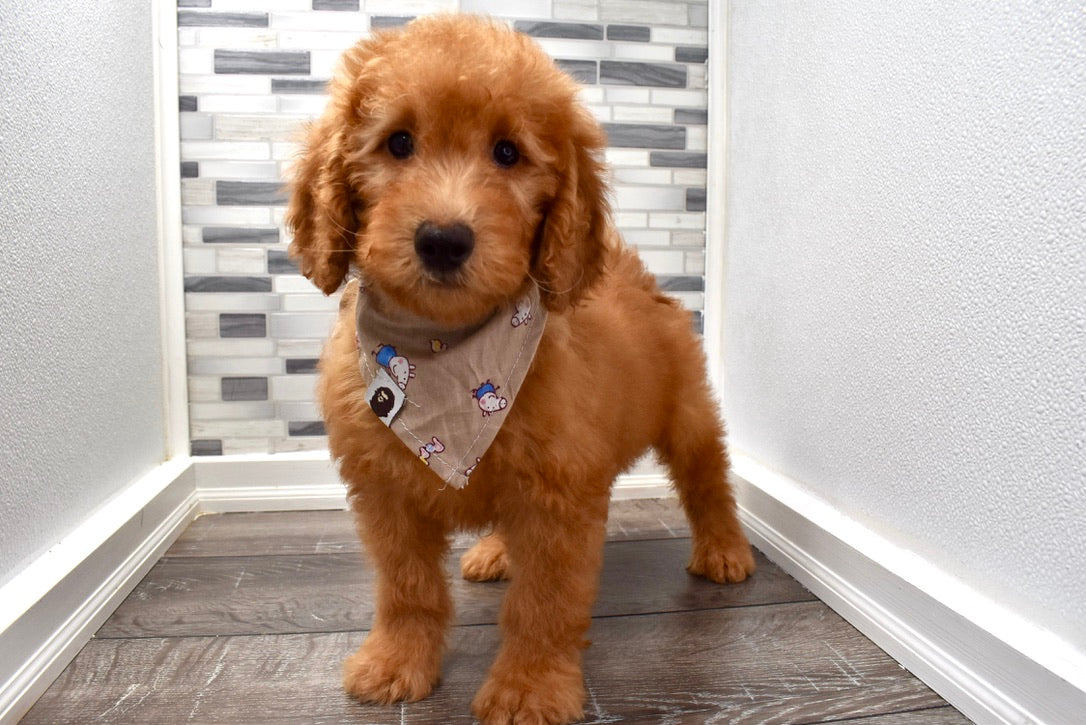 Reserved Aiden Male F1b Mini Goldendoodle Puppy