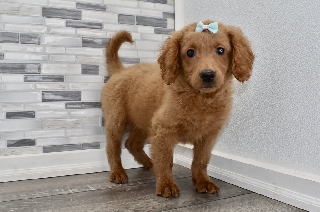 Eleanor Female F2 Miniature Goldendoodle Puppy