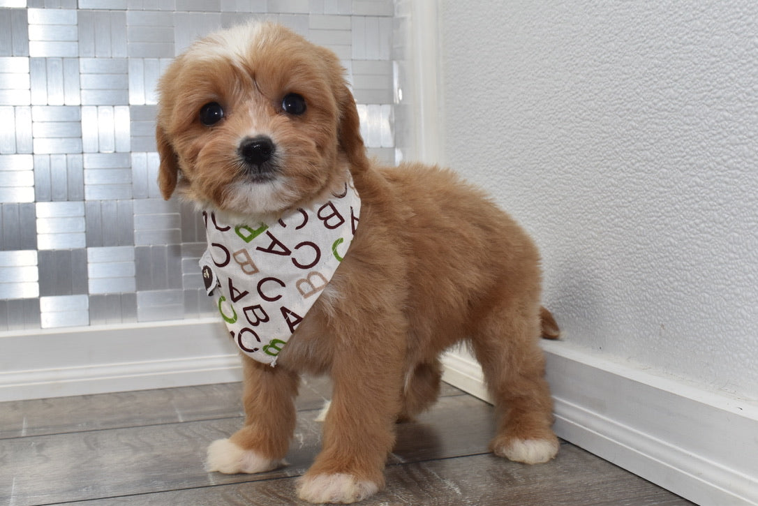 *RESERVED* Pongo Male F1B Cavapoo Puppy