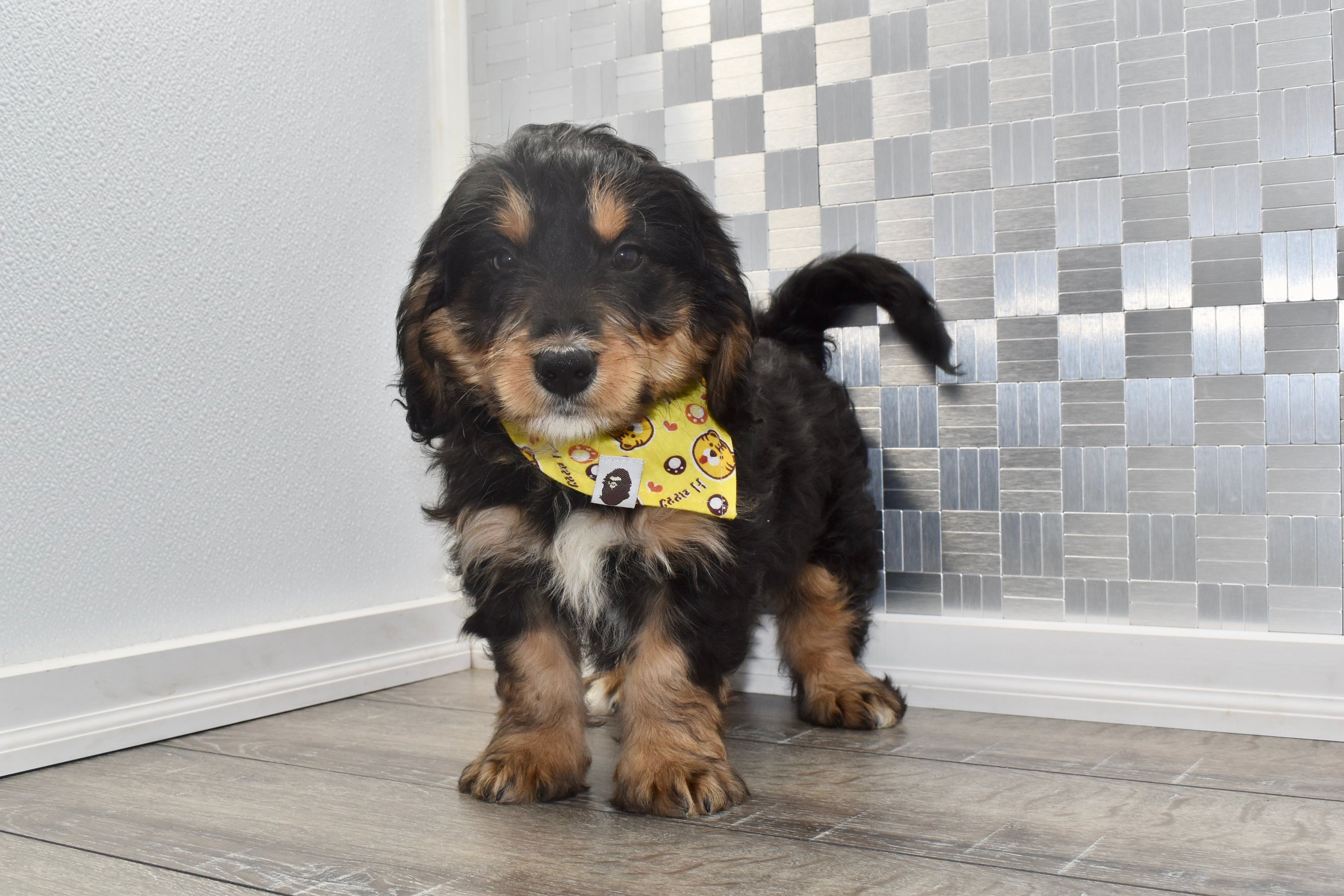 *RESERVED*Bandito Male Miniature Bernedoodle Puppy