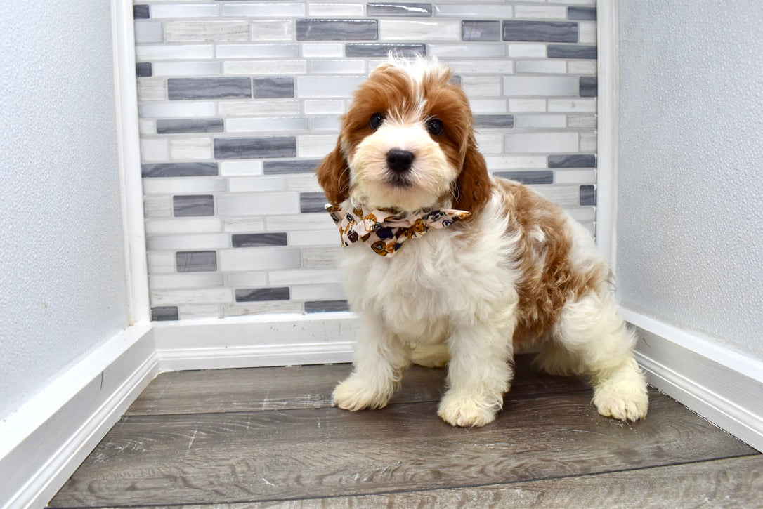*RESERVED* Chief Male F1B Cavapoo Puppy