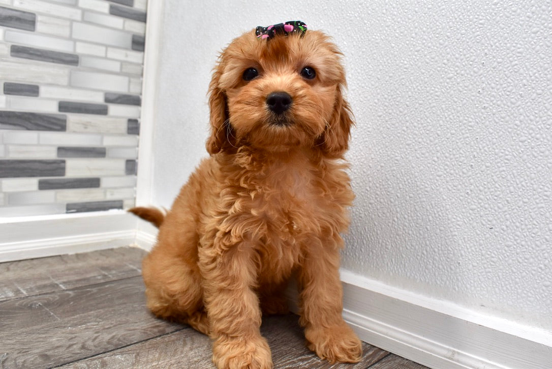 *RESERVED* Daffy Female F1B Cavapoo Puppy