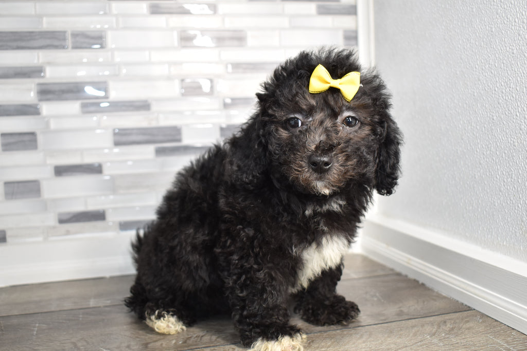 Hester Female Teacup Bichpoo Puppy
