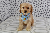 *RESERVED* Isley Male Miniature Cockapoo Puppy