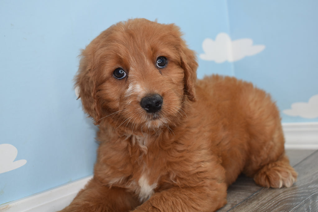 Butch Male Miniature Goldendoodle Puppy