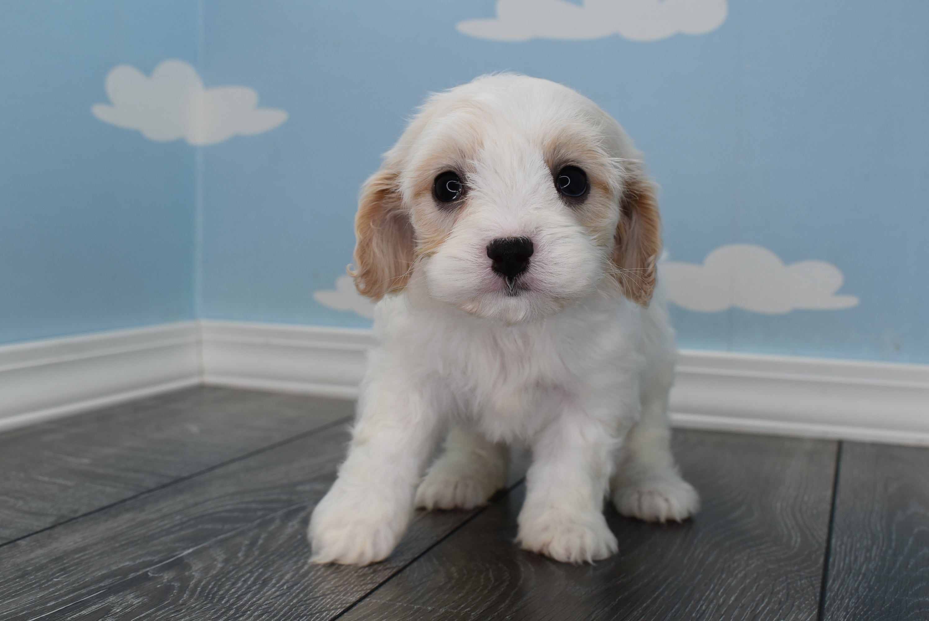 **RESERVED**Bugs Male Cavachon Puppy