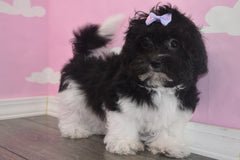 Makenna Female Teacup Teddy Bear Puppy