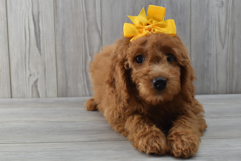 *RESERVED FOR SHAY* Harlow Female F1B Miniature Goldendoodle Puppy
