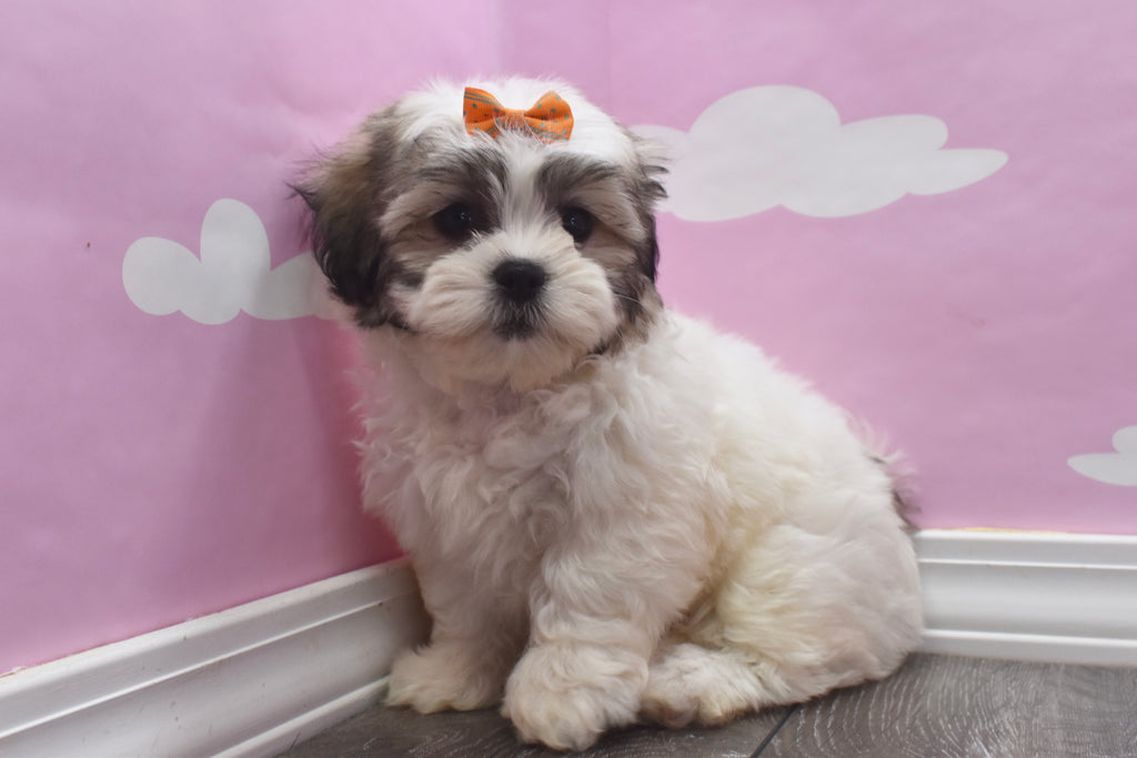 Teddy Bear Puppies | Happytail Puppies | Family Dog Breeders in NC