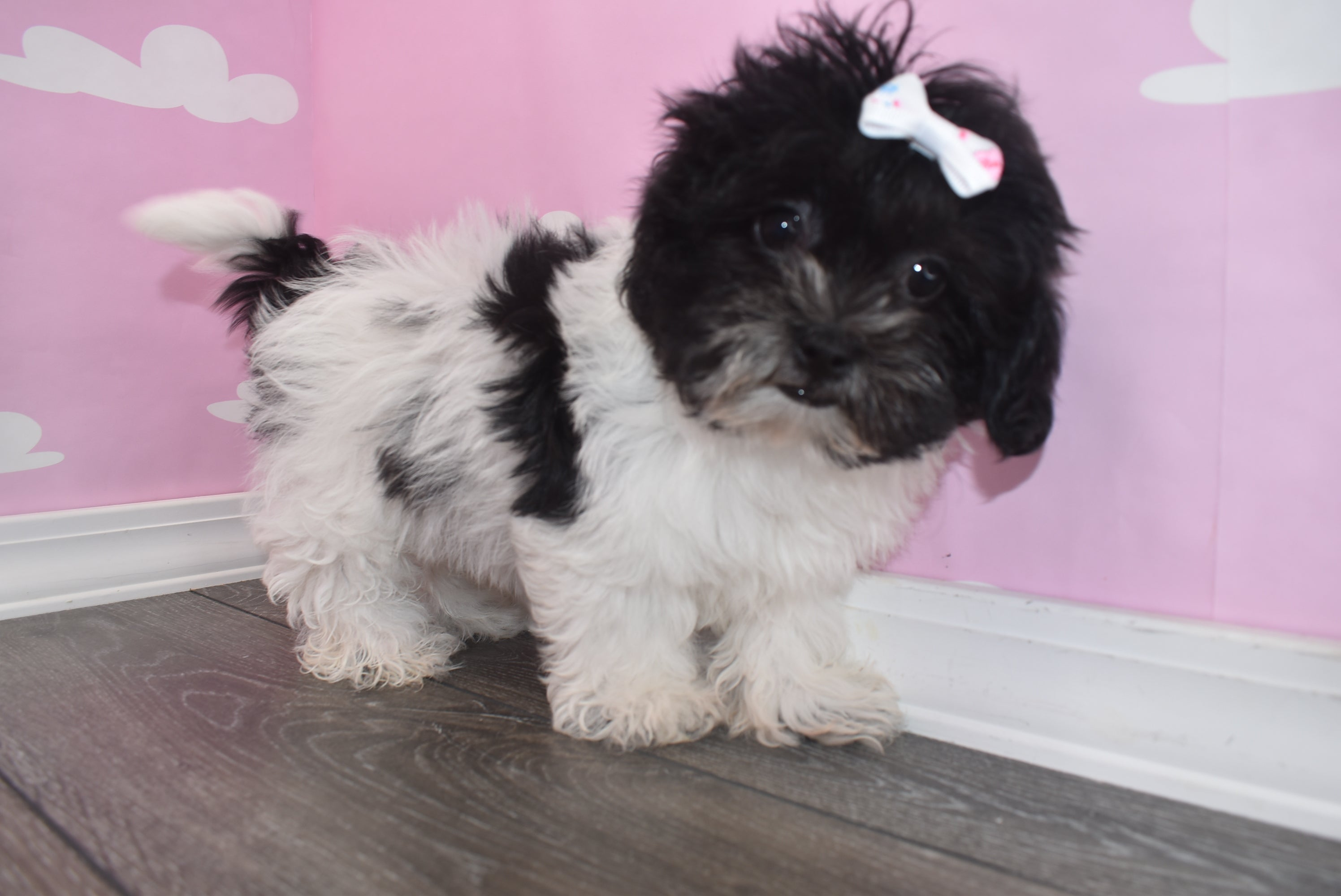 Brexlee Female Teacup Teddy Bear Puppy