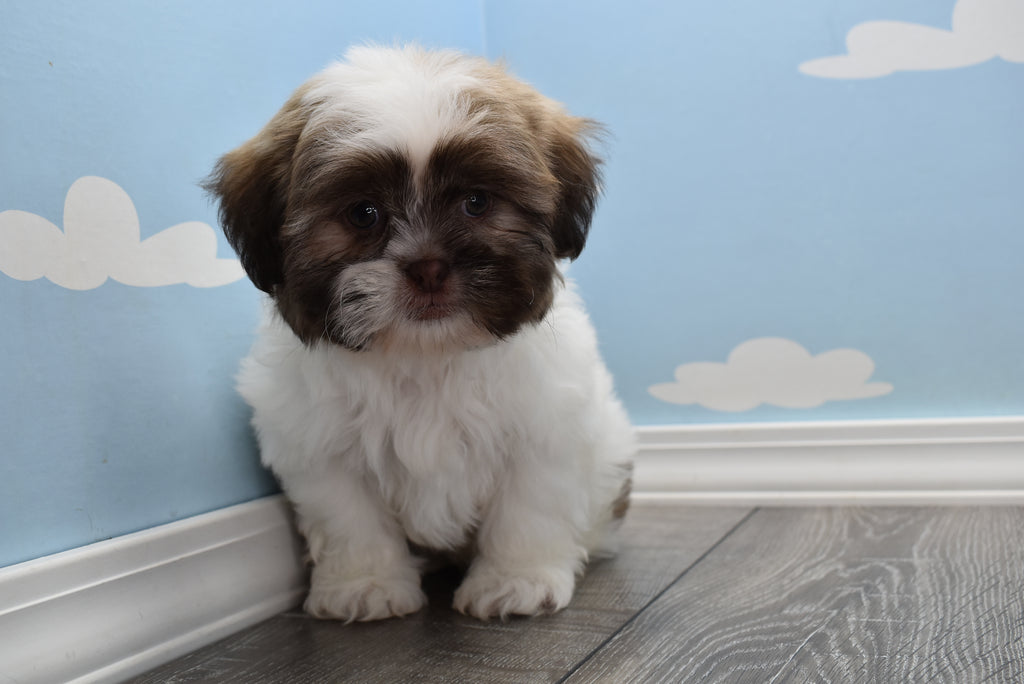 **RESERVED** Elton Male Imperial Shih Tzu Puppy