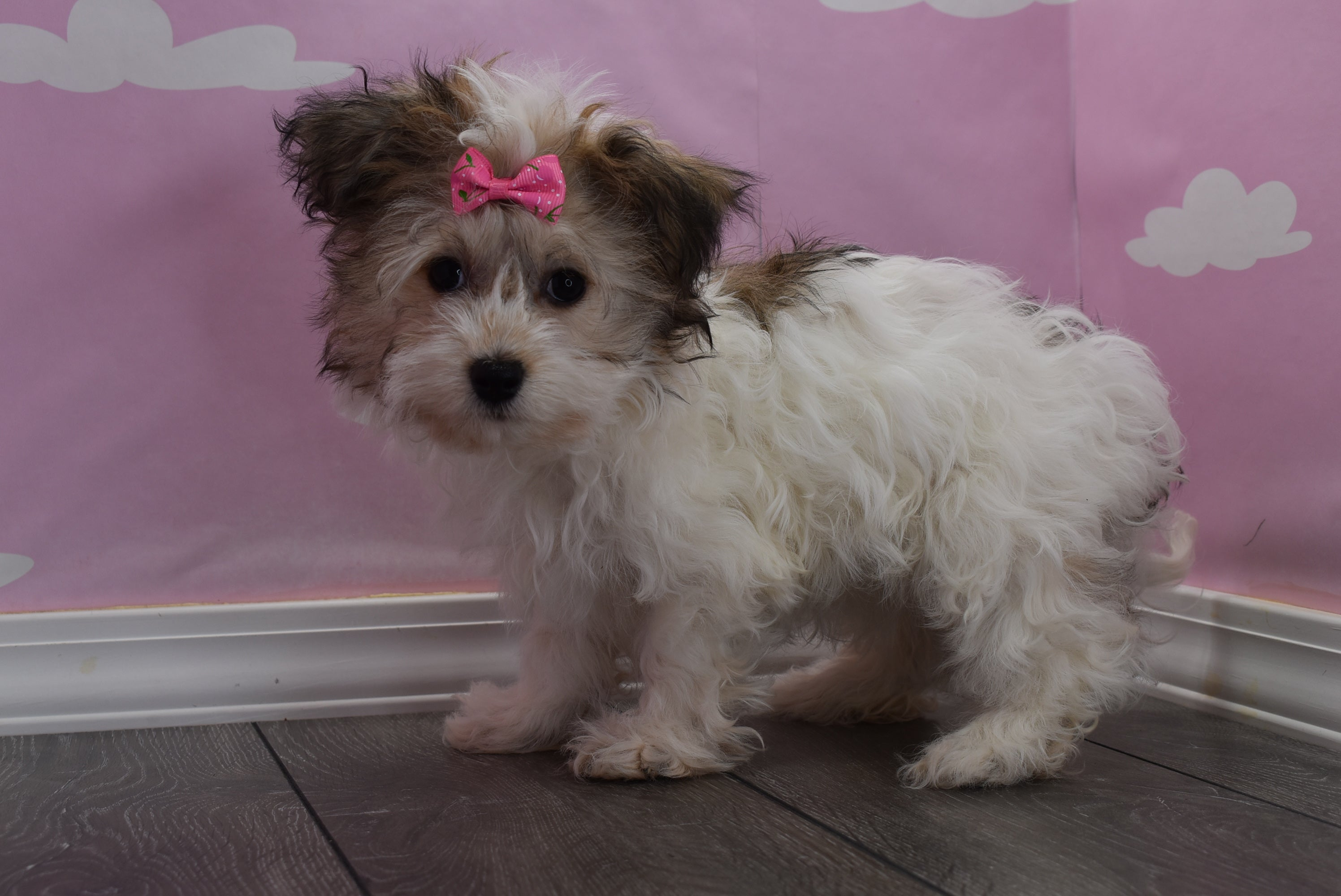 *RESERVED* Armani Female Havanese Puppy