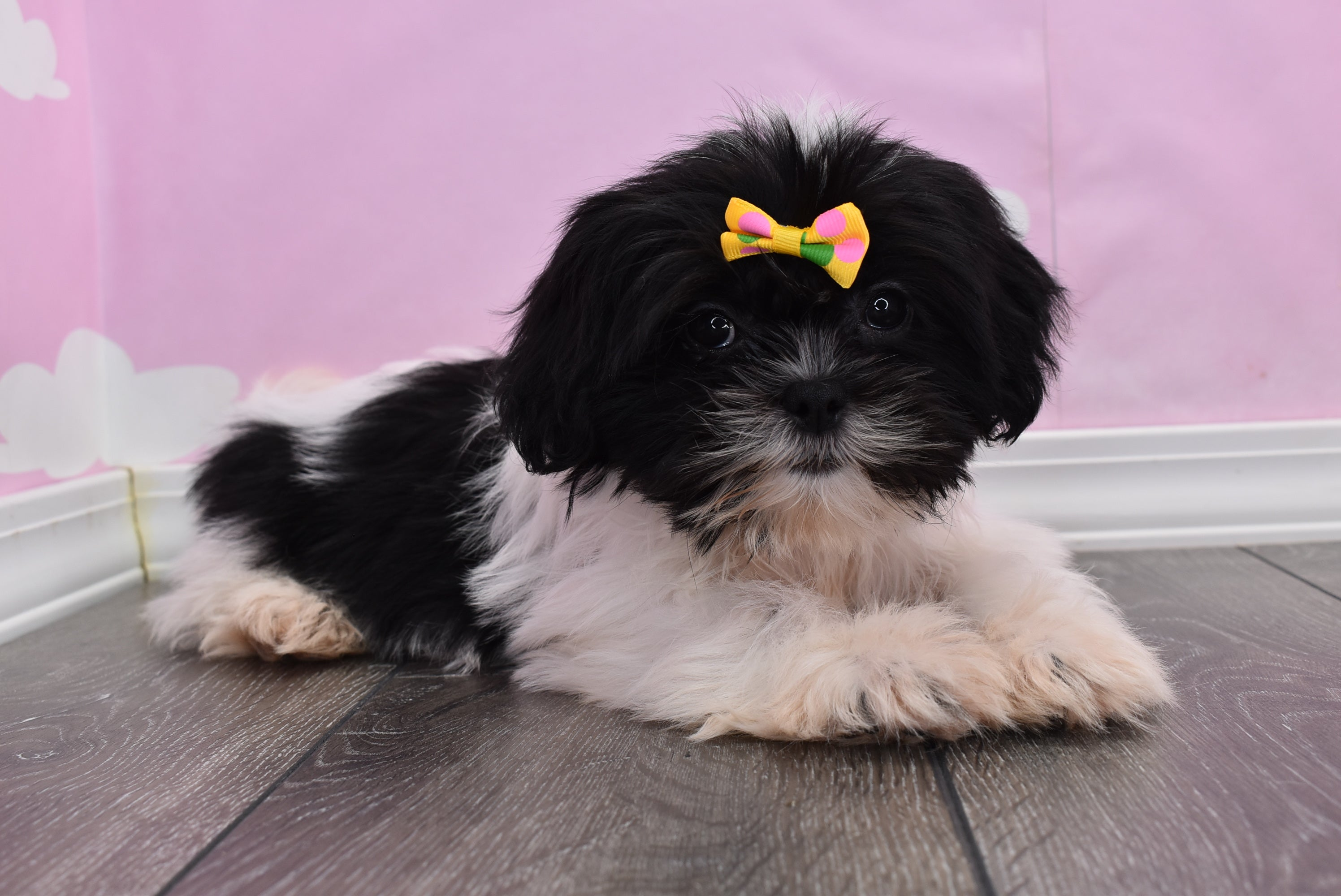 *RESERVED* Galaxy Female Teacup Teddy Bear Puppy