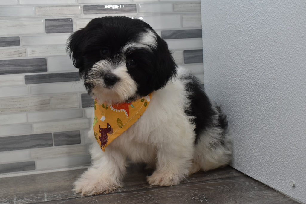 Olaf Male Teacup Shih Poo Puppy