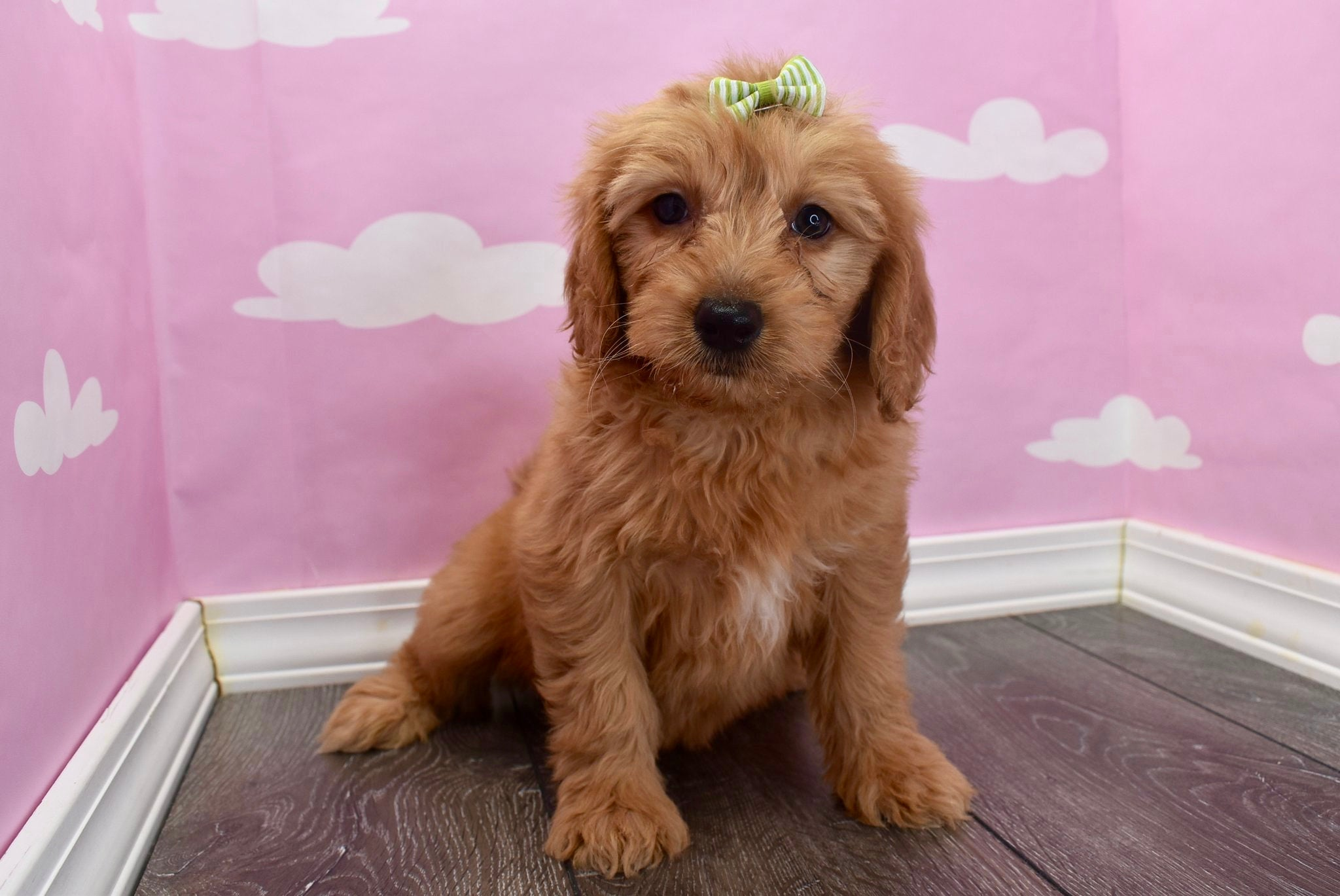 *RESERVED* Joan Female F1B Miniature Goldendoodle Puppy