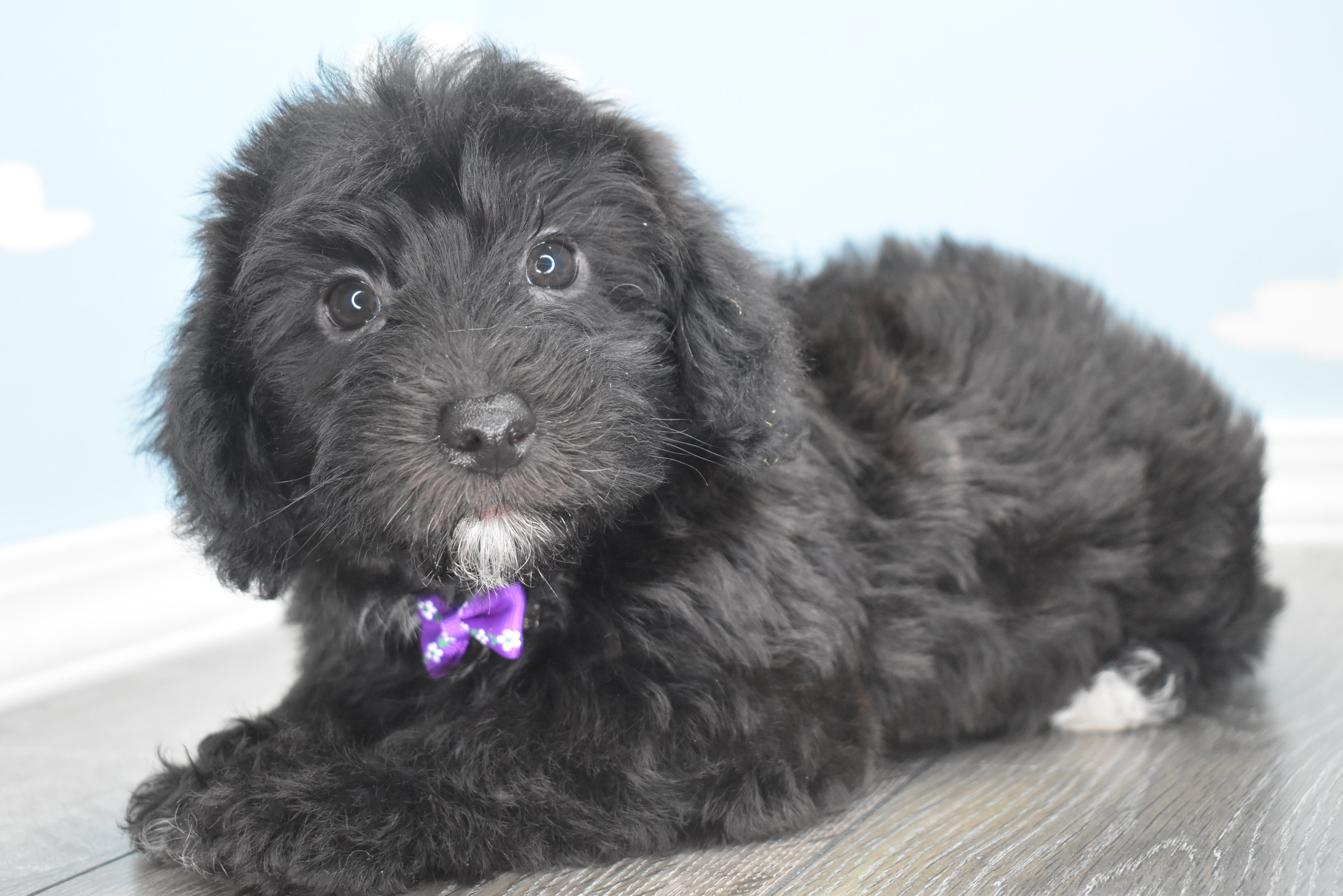 *RESERVED*Campbell Male Teacup-Toy Yorkichon Puppy